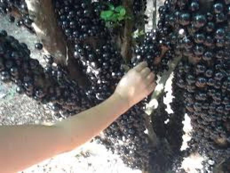 b4733597e4e4e Maior plantação de jabuticabas do mundo atrai turistas em Goiás ...