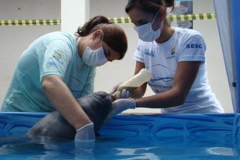 Projeto devolve à natureza peixes-boi marinhos ameaçados de extinção