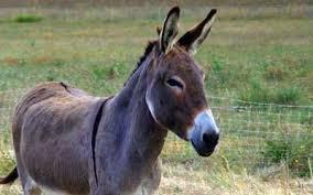 Caçadores promovem matança de burros na África para uso em medicina tradicional chinesa