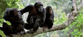 6 em cada 10 espécies de primatas 'estão em risco de extinção' Há 4 horas