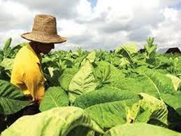 Fumicultores defendem menos restrição de acesso ao PRONAF