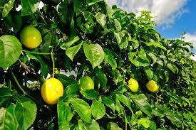 Com vendas de maracujá e tomate, famílias do Hortifruti Legal faturam mais de R$ 107 mil em Paranaíba