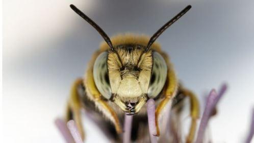 Desaparecimento das abelhas seria uma catástrofe
