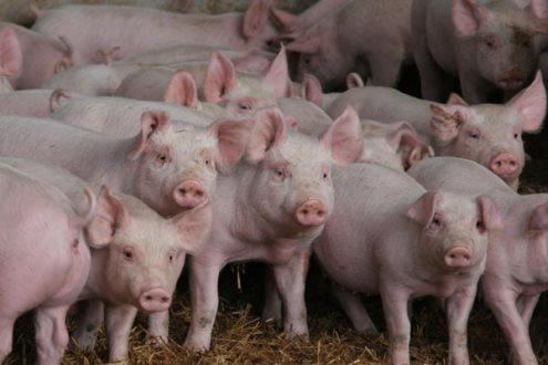 Demandas interna e externa fracas fazem preços de suínos ficarem abaixo do custo de produção em SC