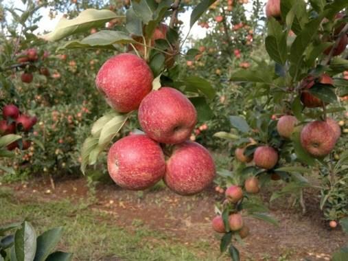 BB anuncia medidas de apoio à comercialização da maçã