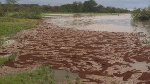 Como formigas criam 'balsas' para sobreviver às inundações causadas pela tempestade Harvey