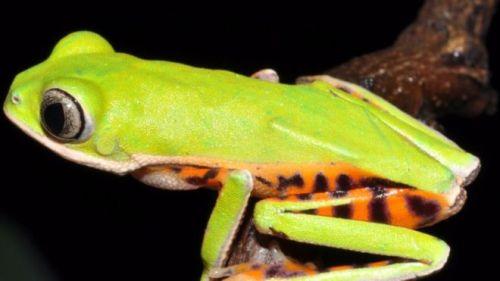 Cientistas brasileiros usam canto e DNA para identificar nova espécie de anfíbio no Cerrado