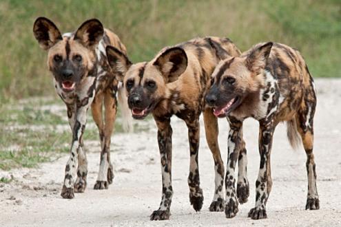 Cientistas desvendam  reuniões com 'espirros'dos cães selvagens na África
