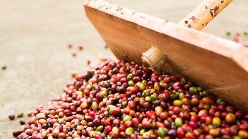 CAFÉ IBGE eleva previsão de safra de café do Brasil para 47,8 mi sacas