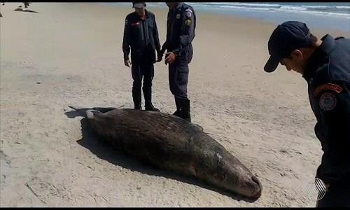 Baleia jubarte  é encontrada morta em Ilhéus