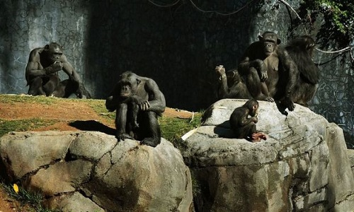 Lições que os chimpanzés podem nos ensinar sobre política