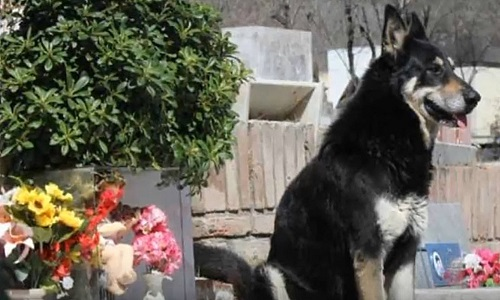 O morre  cão que passou 11 anos visitando o túmulo do seu dono