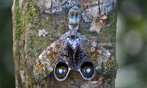Jequitiranaboia um inseto brasileiro