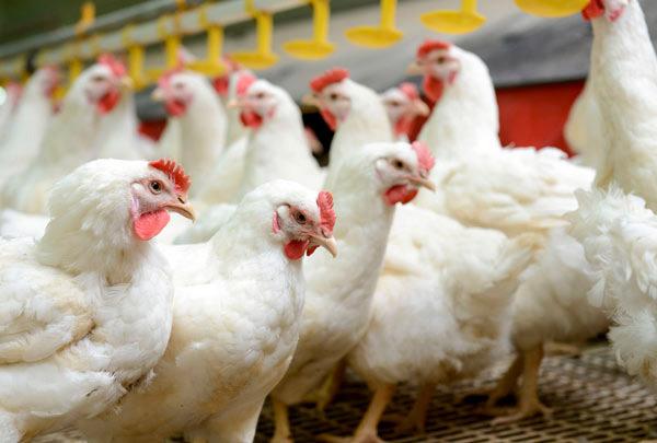 Arábia Saudita, maior comprador de aves do BR, endurece negociações e desalojamento cresce