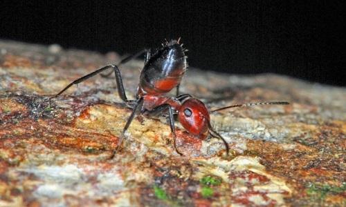 Formigas kamikazes' da Indonésia explodem para defender colônia