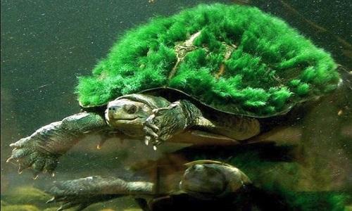 Tartaruga de cabelo verde pode respirar pela genitália