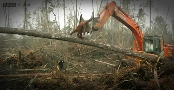 Orangotango enfrenta escavadeira que desmatava a floreste onde ele vive