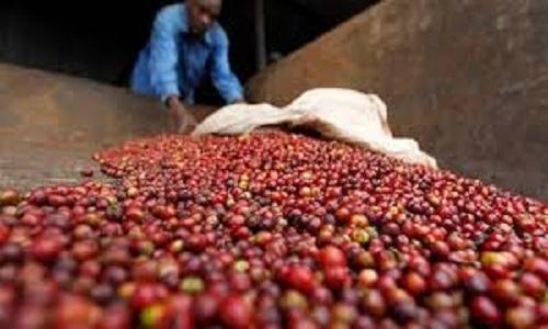Colheita de café do Brasil avança a 38% do total