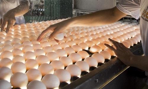 Copa dos Ovos a disputa vai premiar os melhores ovos nas categorias brancos, vermelhos e de codorna