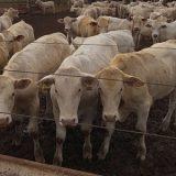 Avaliação raça Canchim feita primeira vez com tecnologia que calcula curva de lucro por animal