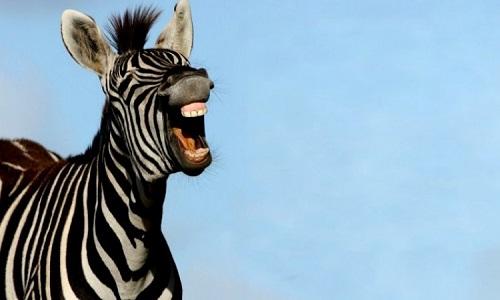"Curiosidades da Copa: De onde veio o termo ""zebra""?"