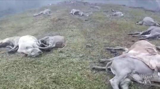Boi cai de barranco e outros 28 se jogam: Todos morreram