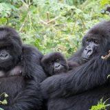 Fêmeas preferem gorilas que se dedicam aos filhotes