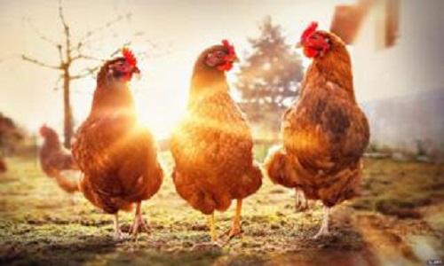 frigorífico que produz carne de frango sem matar  aves