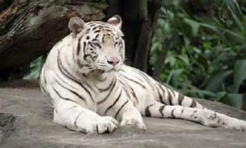 Tigre branco matou seu cuidador no zoológico