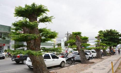 Técnica do bonsai é aplicada em árvores adultas no centro de Feira