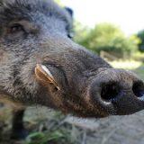 O diagnóstico de peste suína africana em javali aprofundou a crise na China