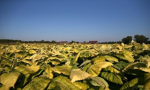 Pesquisadores aumentou  em 40% o rendimento de plantas com modificação genética