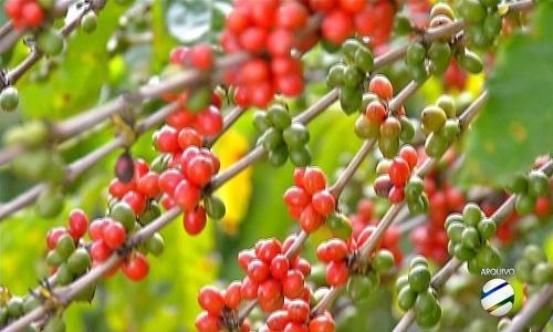O IBGE vê a  safra de café 10,8% menor no ano de  2019, a 53,4 milhões de sacas