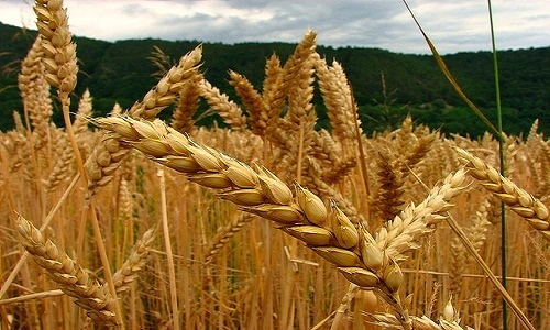 Brasil reduz importações do trigo, apesar da entressafra