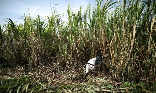 Centro-sul deve ter salto de 7% em produção de açúcar.