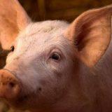 Cientistas conseguem reativar cérebros de porcos quatro horas após morte