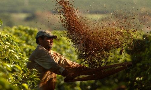 Safras prevê queda na colheita de café do Brasil em 2019