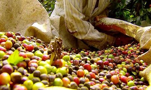 Colheita de café já acontece em todas as regiões do Brasil