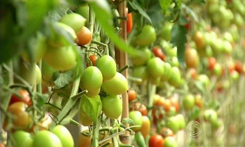 IBGE prevê crescimento de 20% na produção baiana de tomates