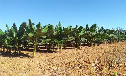 Pesquisa busca alternativas de irrigação com economia de água para a fruticultura