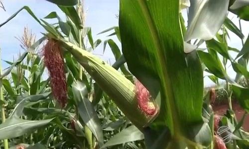 Em uma semana, milho sobe 4,75% em MS influenciado pela alta do dólar e maior demanda