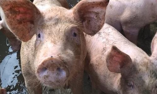 Abates de suínos no Brasil crescem 5% no 1º tri, diz IBGE