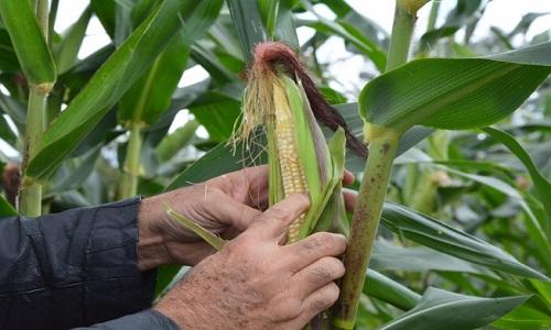 Orgânica, produção de grãos em Feira pode chegar a 270 toneladas