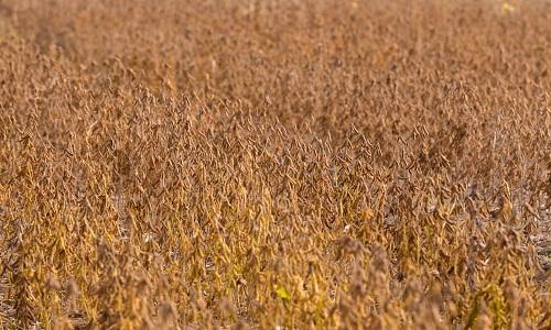 Conselho Internacional de Grãos reduz estimativa para produção global de soja e milho em 2019/20