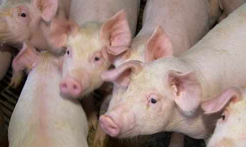 Vietnã sacrifica 2,5 milhões de suínos para conter surto de peste africana, diz ministério