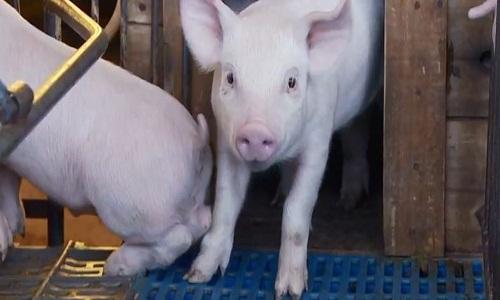 Governo da China admite 'falhas' na tentativa de conter a peste suína africana