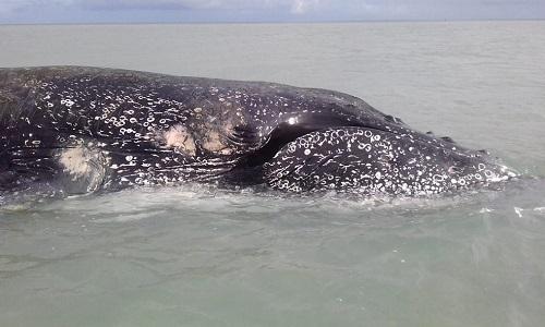 Baleia jubarte de 9,2 metros que encalhou em banco de areia no sul da Bahia é encontrada morta