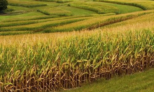 Brasil fecha safra 2018/19,com impulso do milho e algodão, aponta Conab