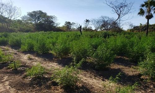 Plantação com 30 mil pés de maconha é encontrada na Bahia