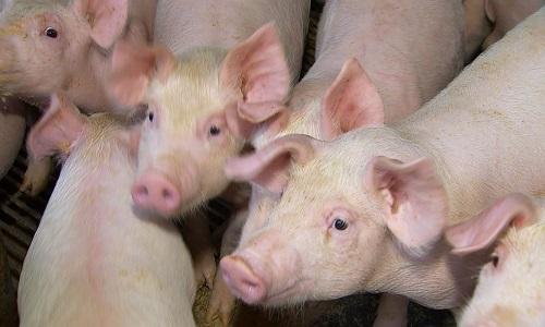 FAO estima que produção de carne suína da China deve cair 20%